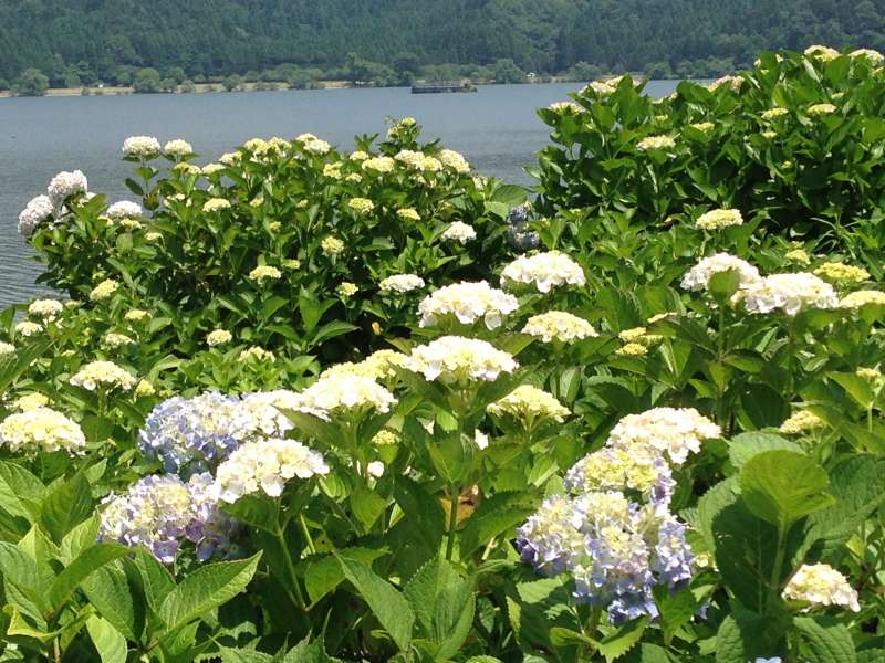 [Jun.] Hydrangea Garden at Yogo Lakeside (3 of 3)