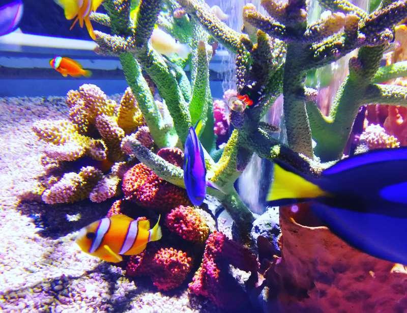 Yellowtail clownish@KAIYUKAN Aquarium