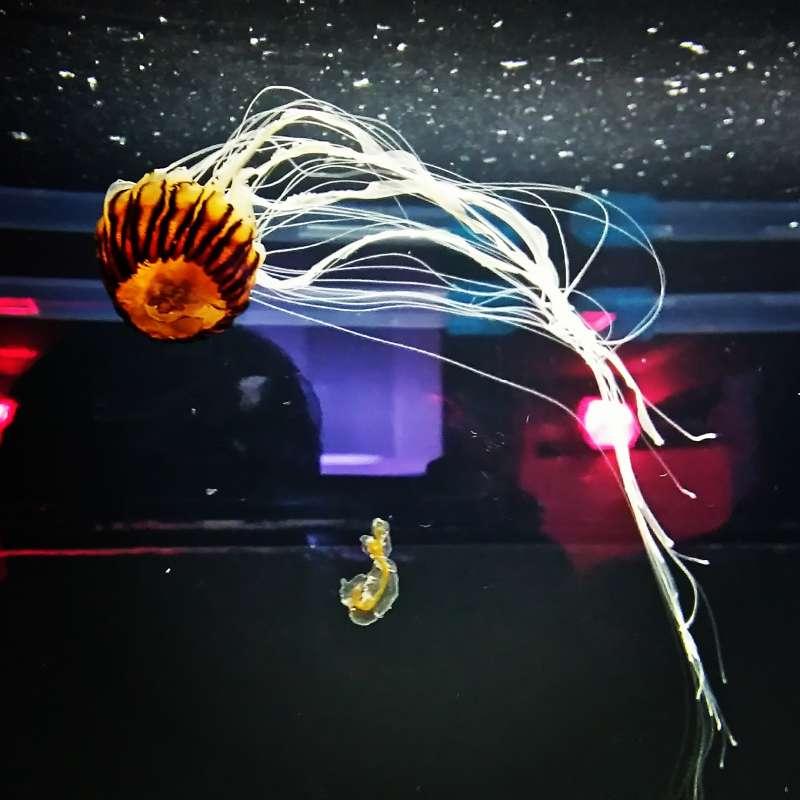 Jelly fish@KAIYUKAN Aquarium