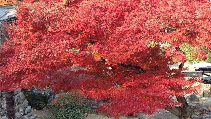 [Nov.] Autumnal Leaves at Keisoku-ji Temple (2 of 2)