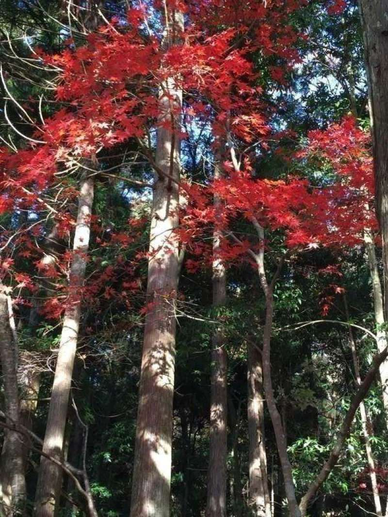 [Nov.] Autumnal Leaves at Keisoku-ji Temple (1 of 2)