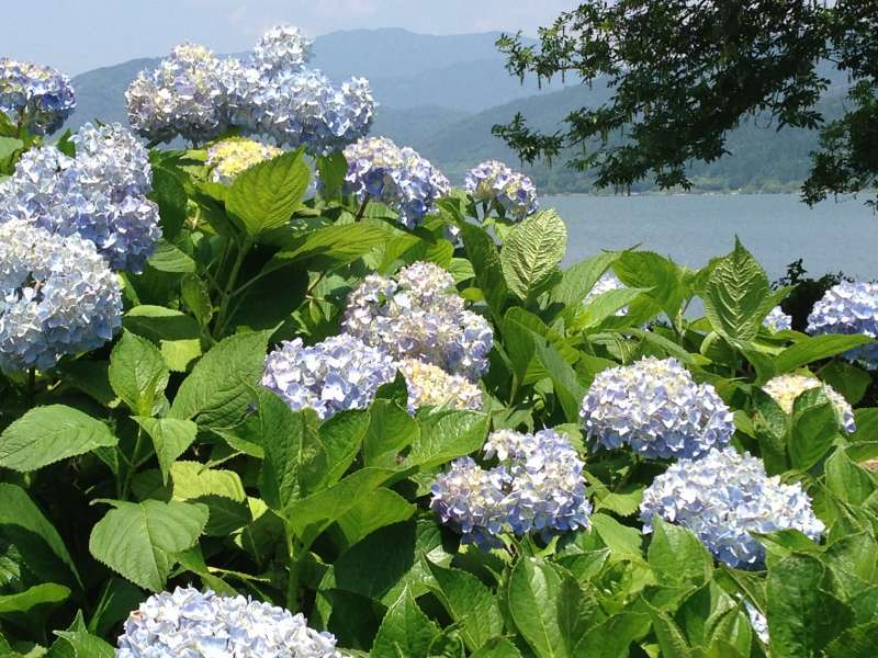 [Jun.] Hydrangea Garden at Yogo Lakeside (2 of 3)