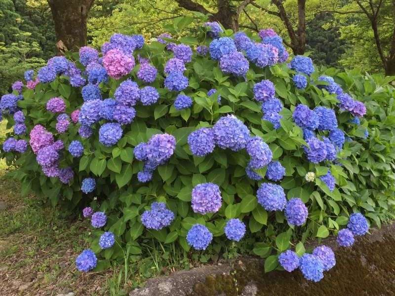 [Jun.] Hydrangea Garden at Yogo Lakeside (1 of 3)