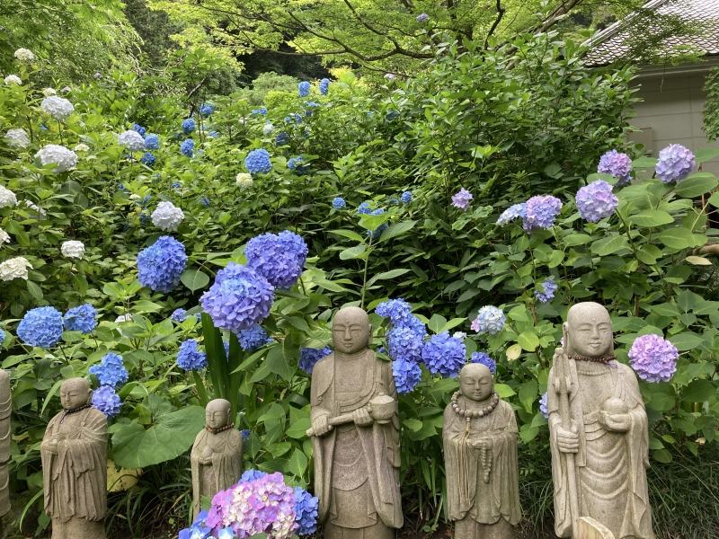Seasonal flowers welcome you all the year around. (Meigetuin temple N4 - 16 June 2020)
