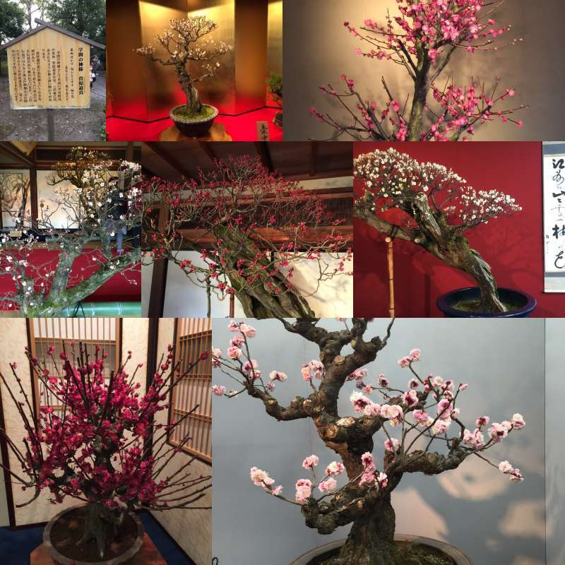 [Winter] The Exhibition of Potted Ume (Japanese plum) at Keiun-kan Guest House (慶雲館)