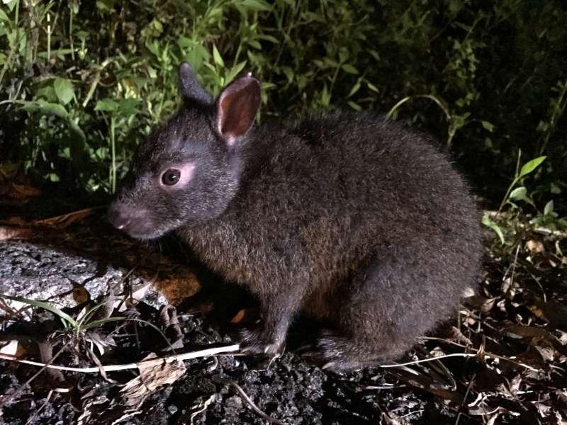 Amaminokurousagi, the famous Amami rabbit !!