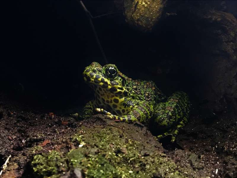 Amami Ishikawa frog, the most beautiful frog in Japan.