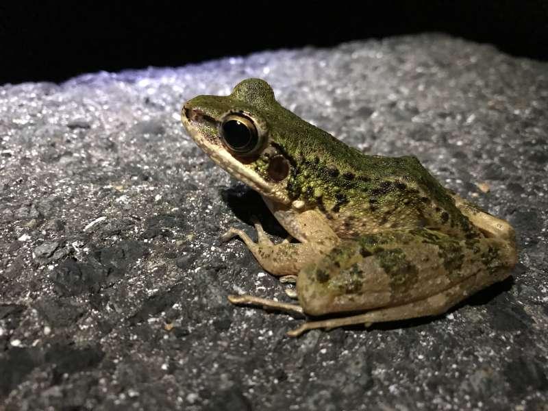 Amami Hanasaki frog.