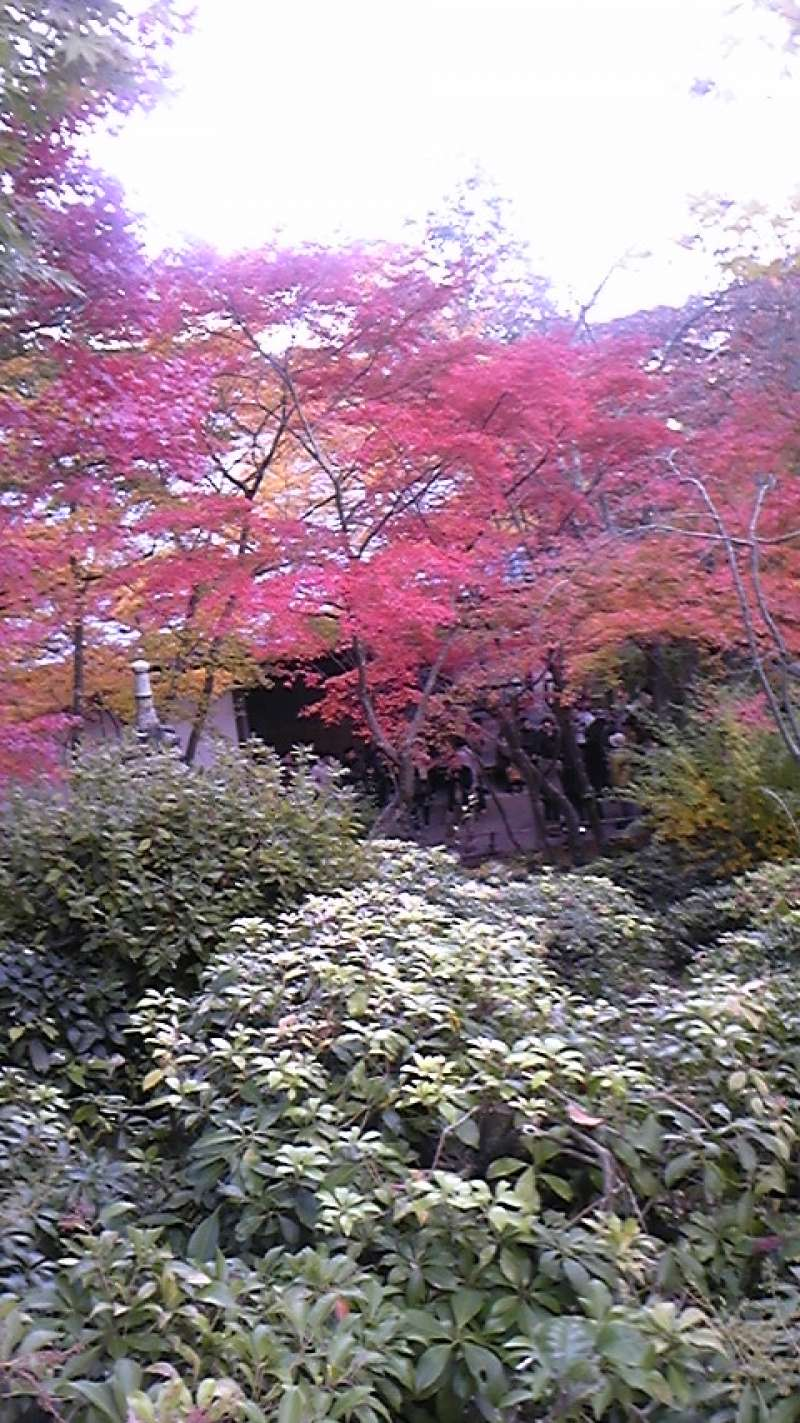 This is one of the most beautiful colorful leaves in Japan. It,s situated at Jyojakukouji temple in west-north Kyoto. You can also see a panoramic view of Kyoto from top of this temple.
