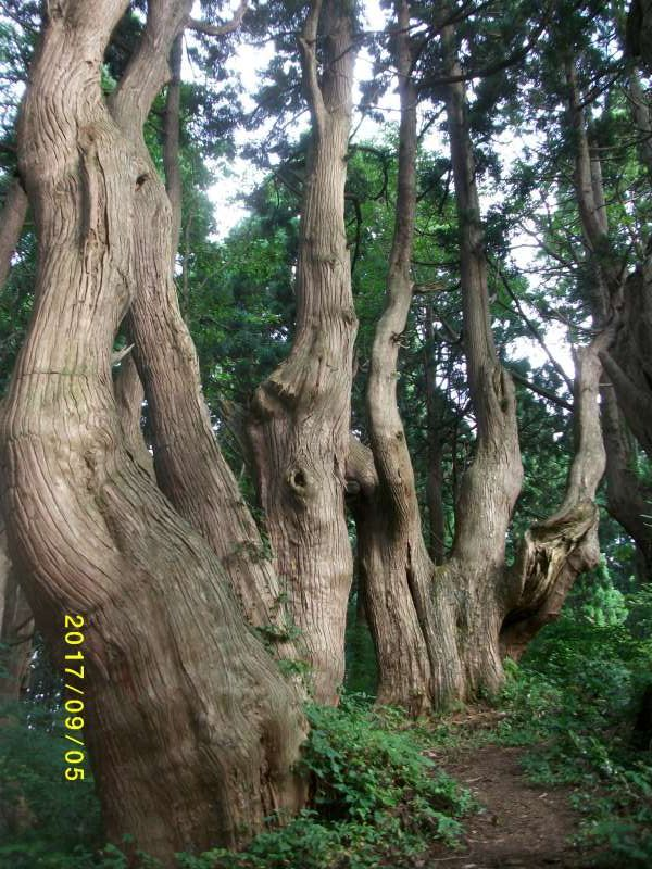 Funny-shaped Curved Cedar Trees