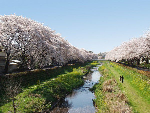 A wonderful view of Nogawa River in the cherry blossom season
