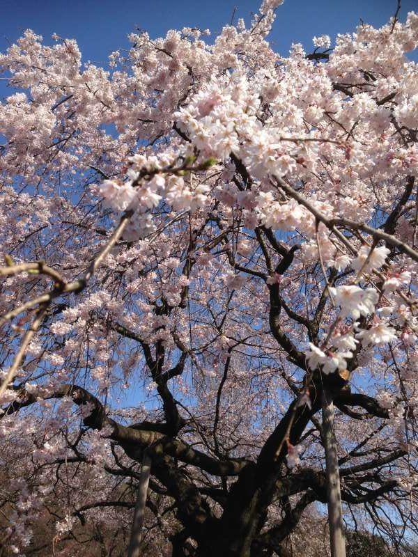 Cherry blossom viewing at Shinjuku Gyoen Garden