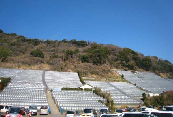 구노잔산 언덕의 경사면에 쌓여진 돌계단 사이에 딸기 묘목을 심어서 태평양의 무한정한 햇살을 받은 돌언덕의 열로 겨울부터 딸기 먹기를 체험할 수 있는 딸기 밭들. 비닐 하우스가 즐비해 있습니다.