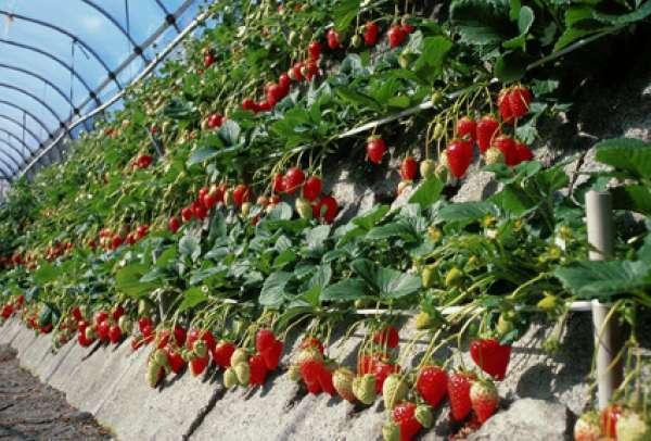 비닐 하우스 안의 딸기밭의 모습. 딸기가 무척 크고 너무나 맛있어서… 자꾸 자꾸만 더 먹고 싶습니다.