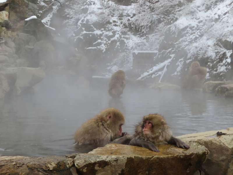 Monkeys in the hot spring