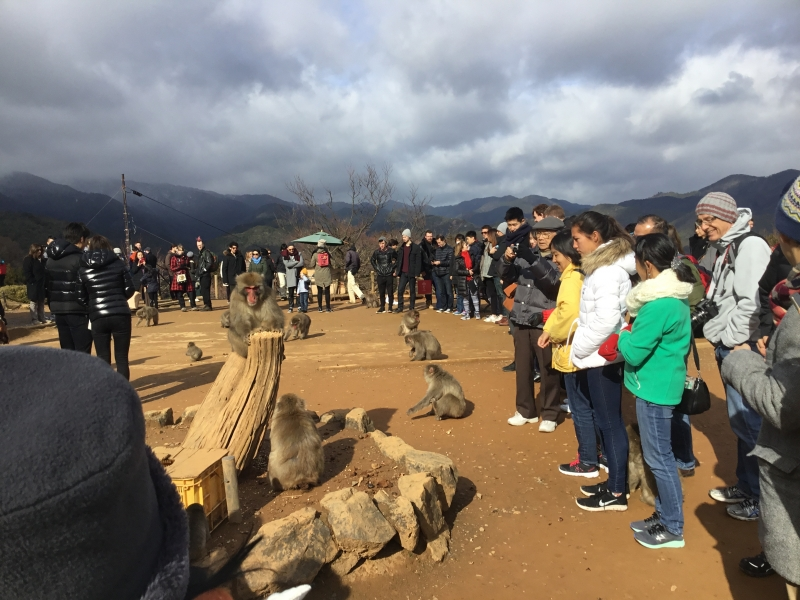 About 120 number of Japanese macaques living in the wild of Mt.Iwata Monkey park.