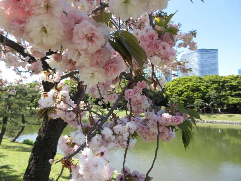 In Hamarikyu garden, you can enjoy double flowering cherry blossoms in late April.  Then are really gorgeous!