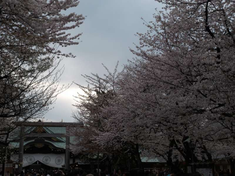 Cherry blossoms at a Shinto Shrine