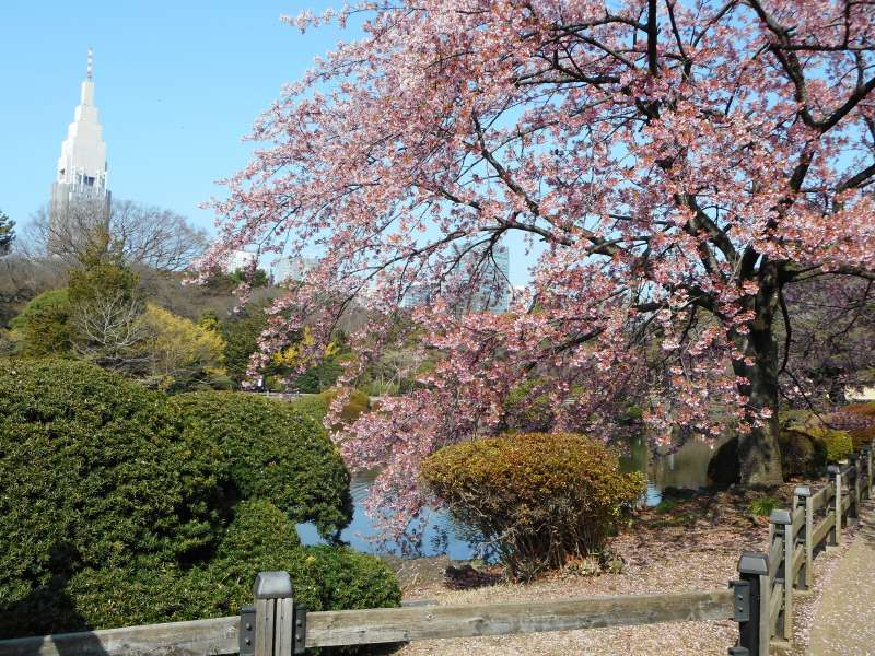 Sakura in the garden in late March