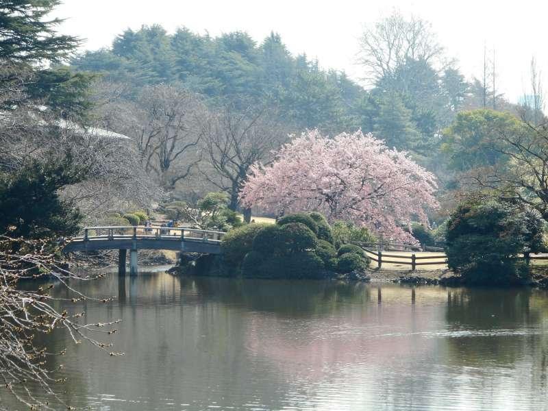 Cherry blossoms or sakura in the garden where we start the tour