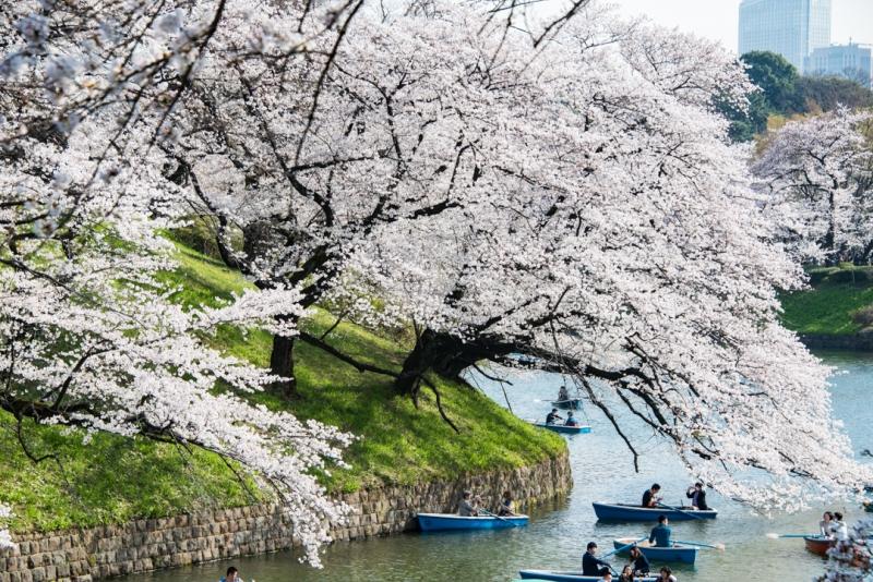 Chidorigafuchi, con las flores de cerezos