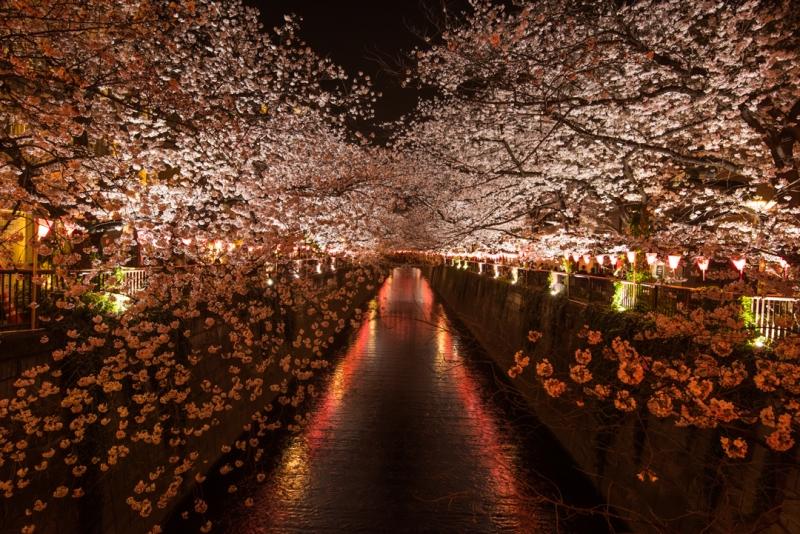Cerezos nocturnos en el rio Meguro