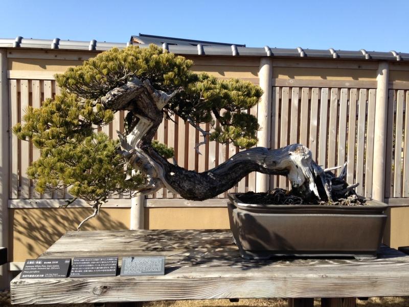 White pine named Blue Dragon, Seiryu