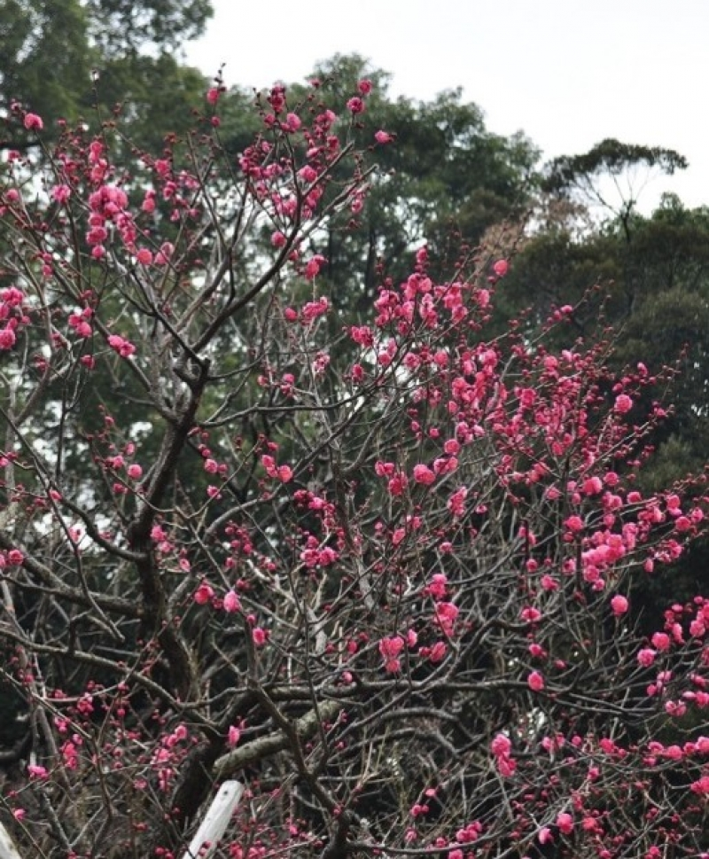 Plum flowers bloom in February.