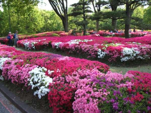 Azalea flowers bloom in May.