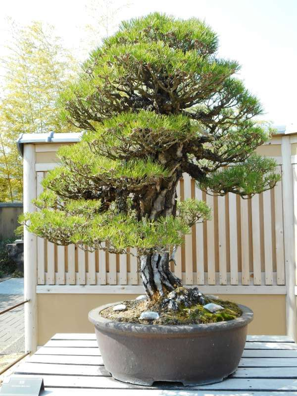 350-year-old Black Pine Bonsai