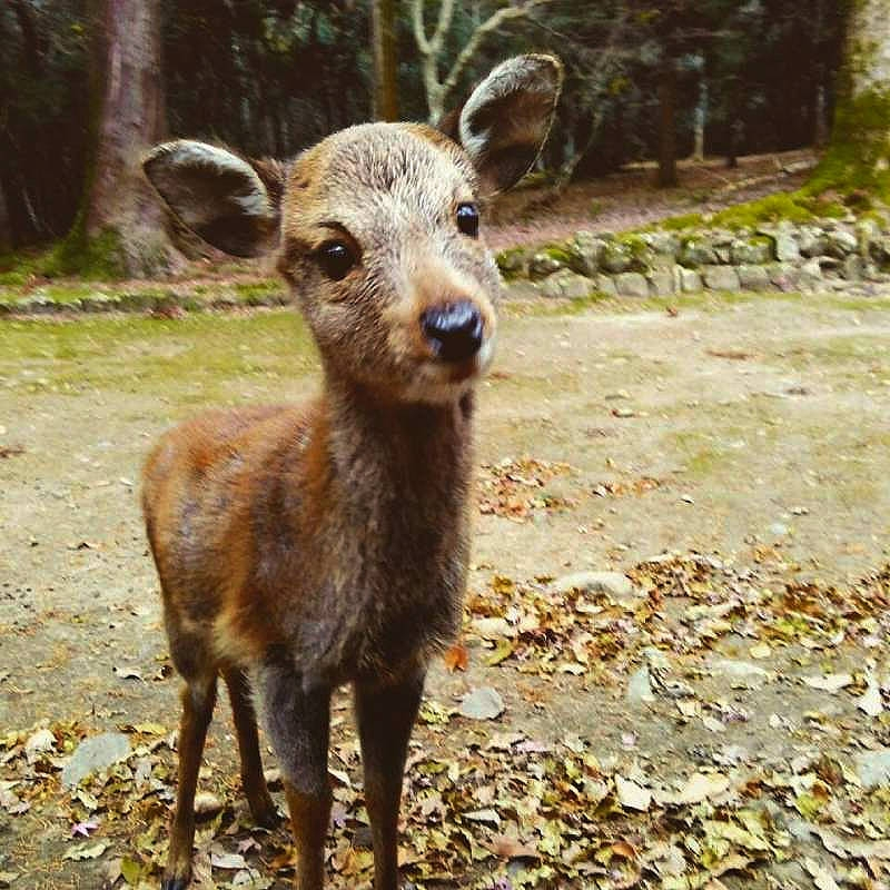 You can see a lot of friendly wild deer in the park for free.