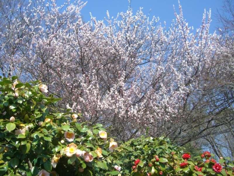 The garden of Nijo castle in spring.
