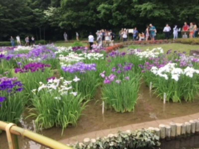 84 kinds of iris in Imperial Palace are in full bloom from May to Jun.