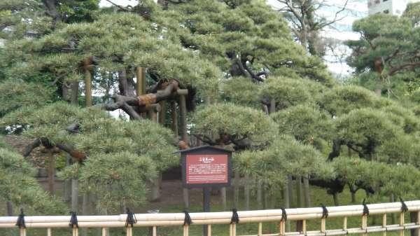 Hamarikyu-Garden (300 years old pine tree)