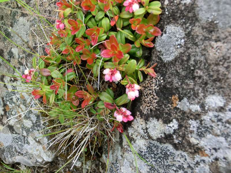 Alpine flowers called