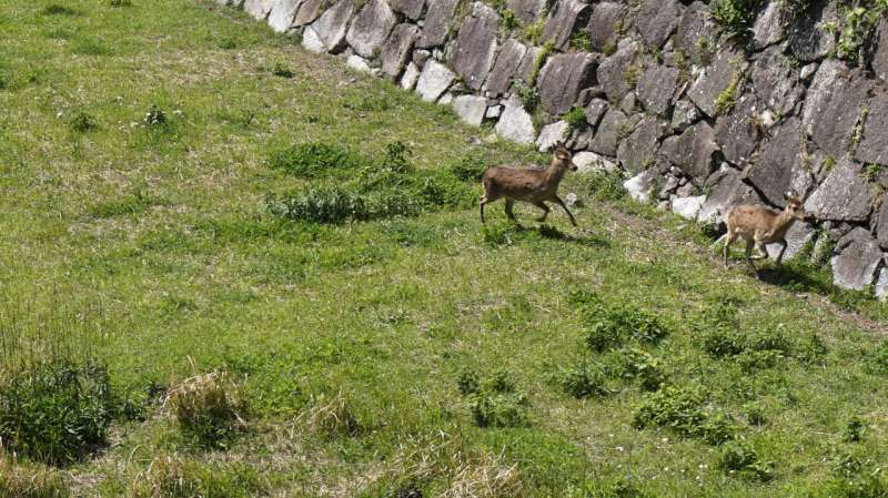 There is a deer in a dry moat. Can you guess why?