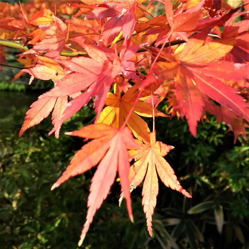 Colored maples in Kamakura