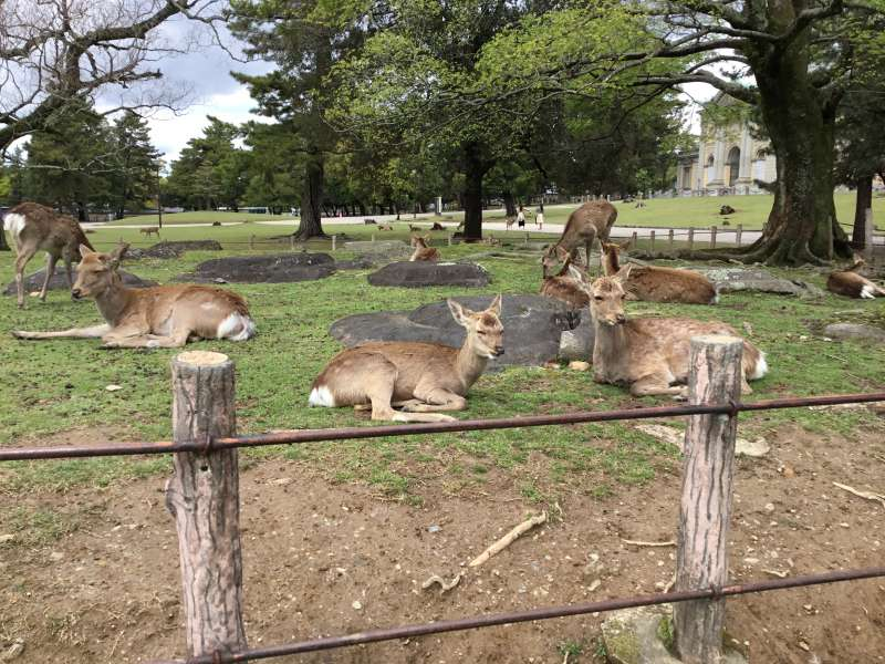 Deer is considered to be messengers of deity of Kasuga Shinto shrine. You can feed the deer cracker to deer, and some deer will bow to you to get it . How polite !