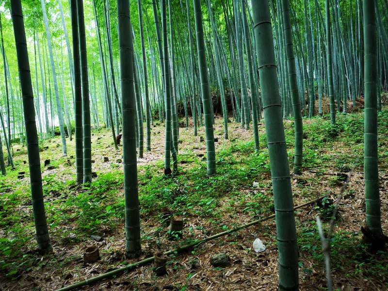 Bamboo is the symbol of vitality, because it grows very quickly, like 1meter per a day during its growing season.