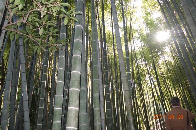 Bamboo grove at Hokokuji temple in Kamakura