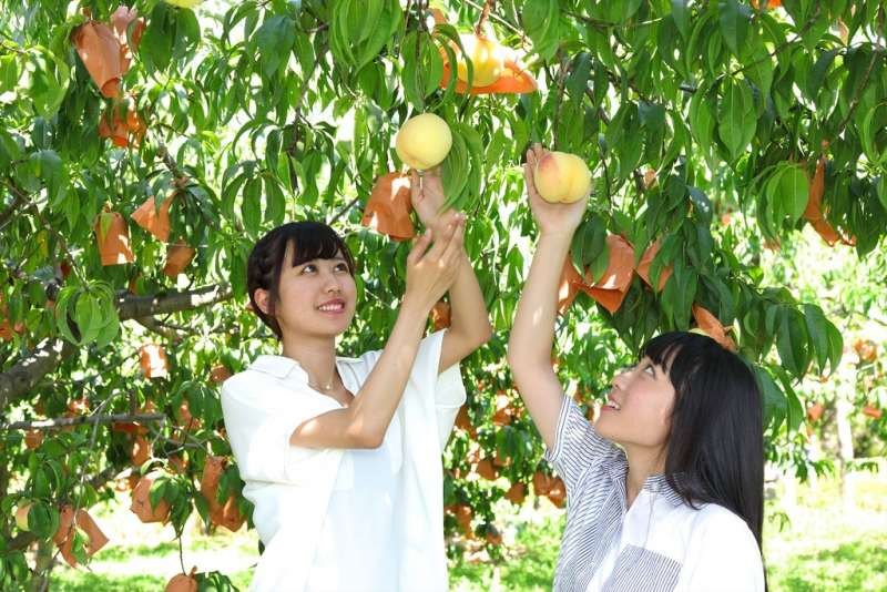 Picking peach is much fun !