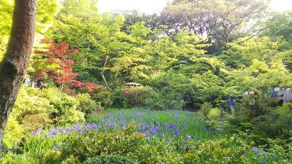 Lovely Japanese garden in Nezu Museum near Omotesando. Irises are beautiful in May.