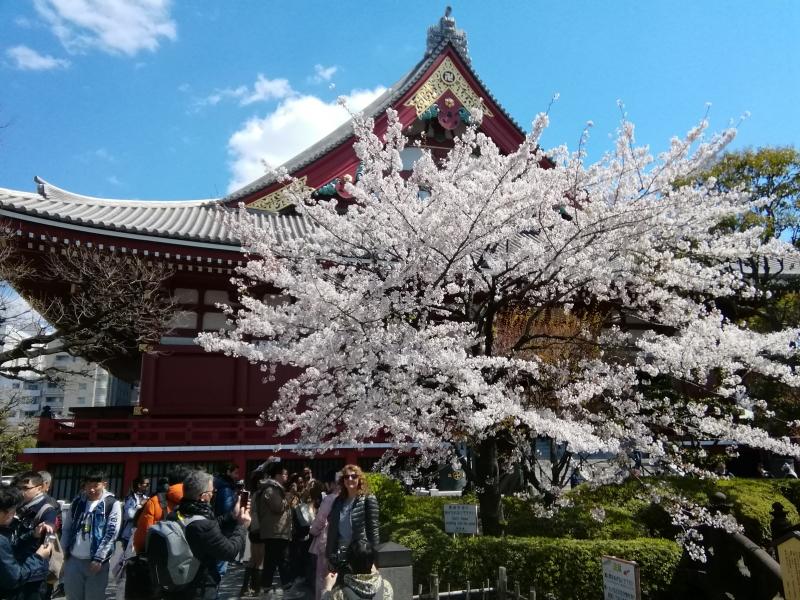 A beautiful cherry tree by a main building of Sensoji temple