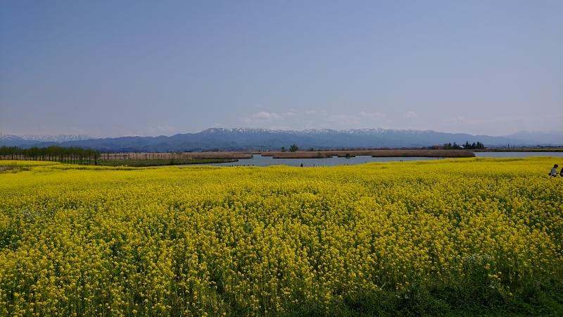 Canola Flowers by Fukushimagata Wetlands.