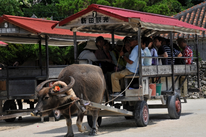Let's ride and go around the village on water buffalo cart.