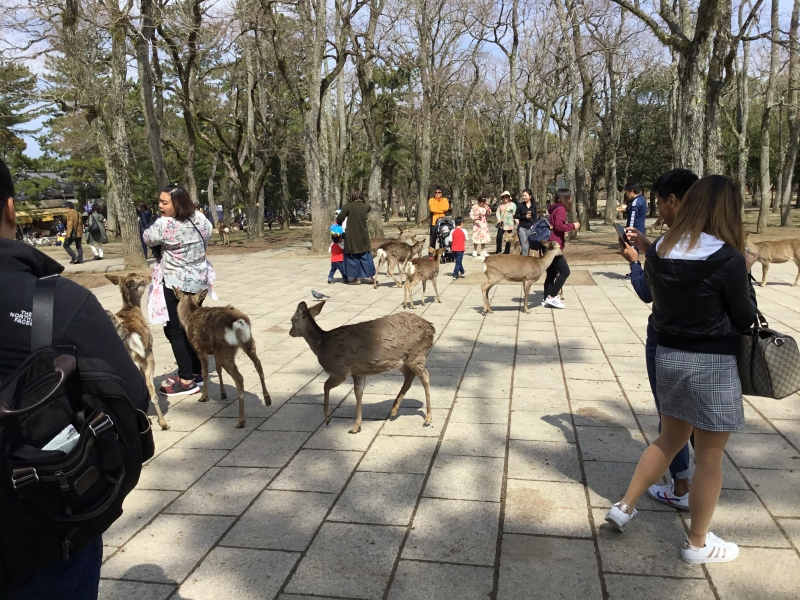 1200 number of deer living in Nara park as the messengers from Shinto of Kasuga-Taisha.