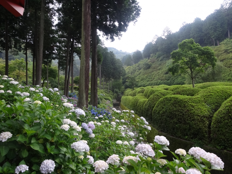 Hydrangea garden in Mimuroto Temple (Best in June or early July)