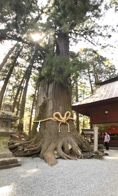 Giant tree at Kita Sengenjinja (Shrine)