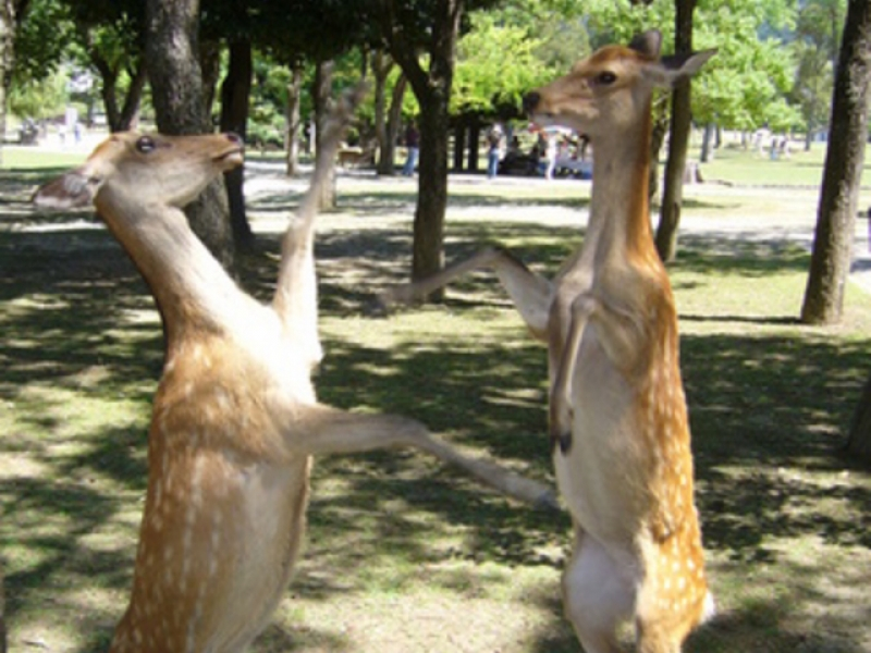 Frolic deer in Nara park, give then deer crackers 