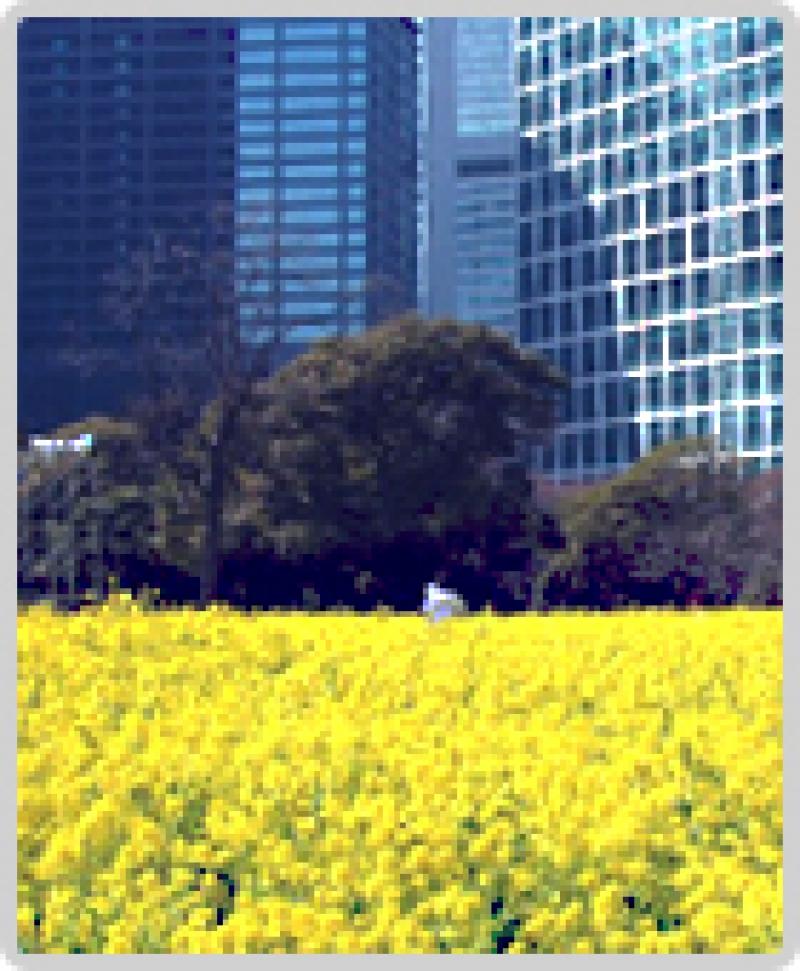 Hamarikyu Japanese Garden with Canora flower